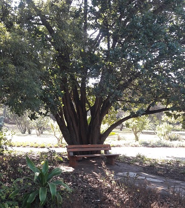 Heritage Tree at SANBI Pretoria