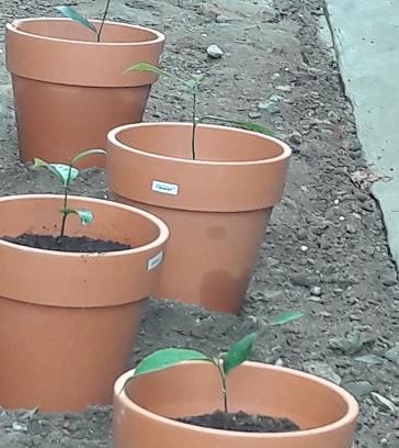 Jackfruit Seedlings