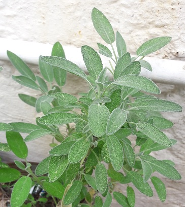 Sage: Salvia officinalis