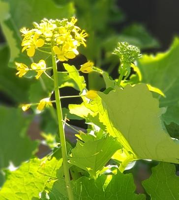 Heirloom seed broccoli